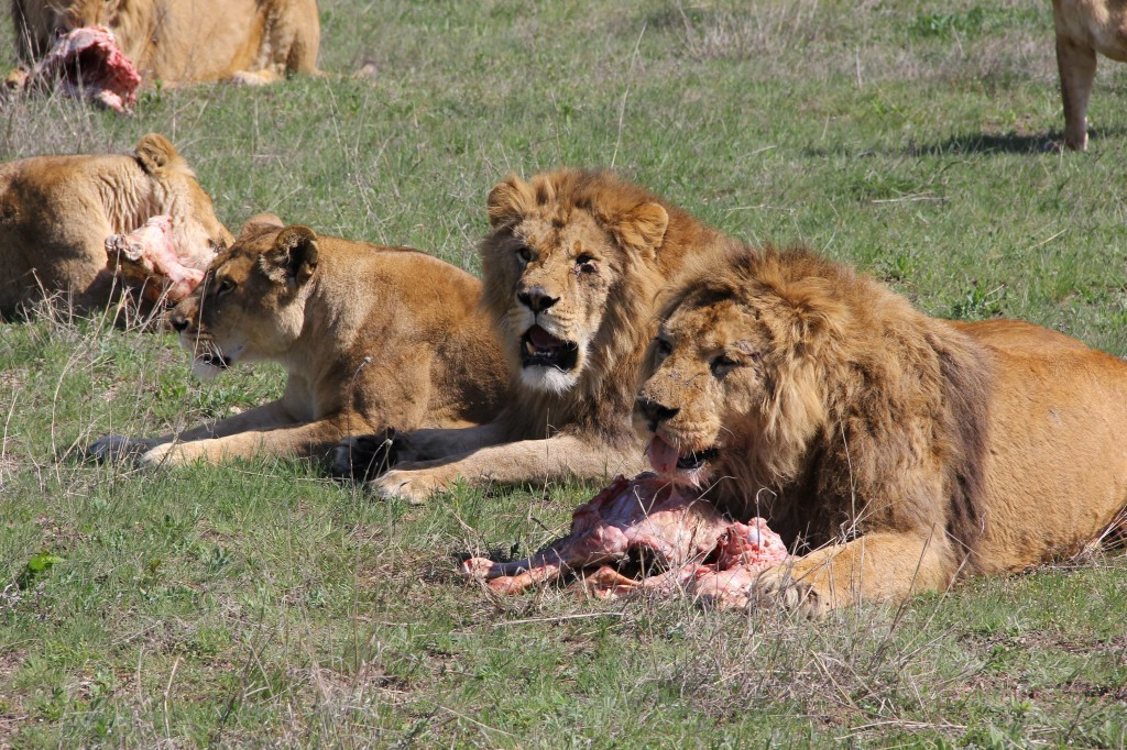 Taigan lions with meat - first delivery by LAEO - med rez