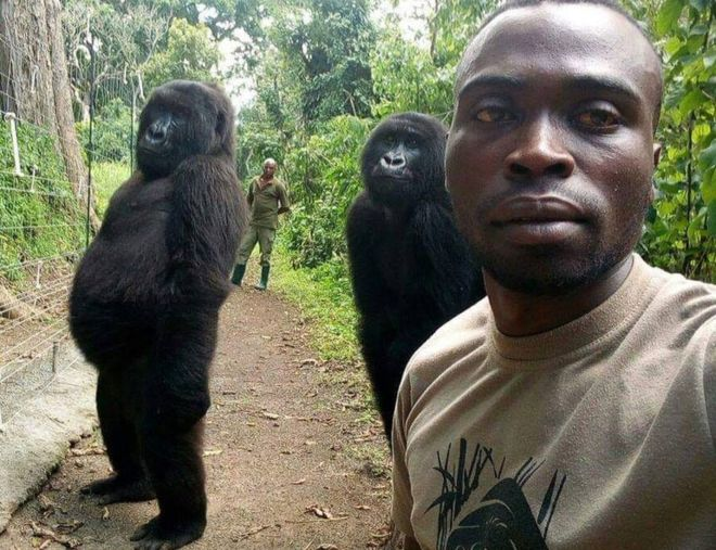 Like father like son … only the sons are gorillas